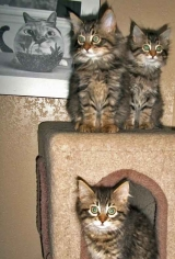 <h5>Maine Coons Kittens</h5><p> </p>